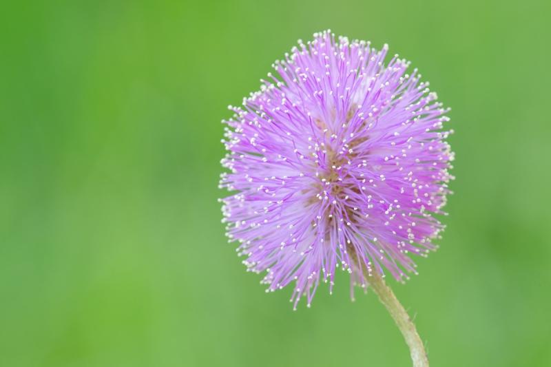 Sunshine-Mimosa-f-16-Mimosa-strigillosa-_A1B0628-Indian-Lake-Estates-FL