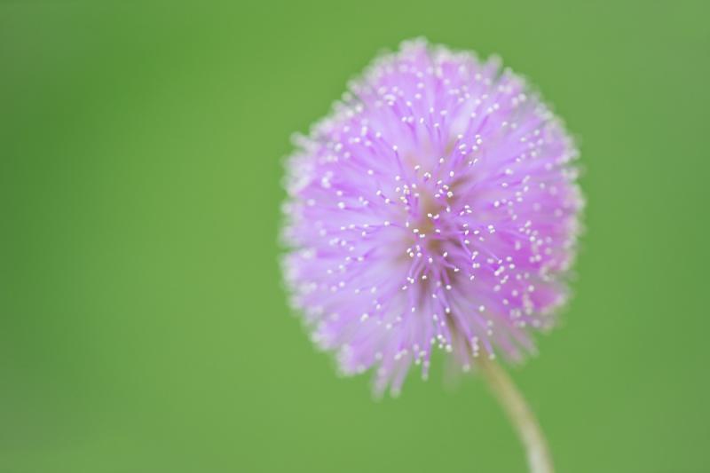 Sunshine-Mimosa-f-3-point-5-Mimosa-strigillosa-_A1B0641-Indian-Lake-Estates-FL