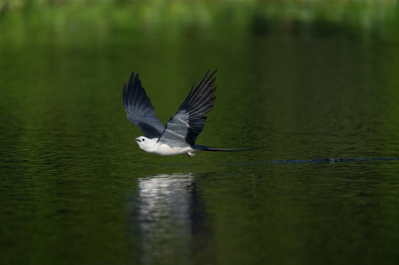 Swallow-tailed-Kite-after-drinking-_A1B1150-Lake-Woodriff-NWR-Deland-FL