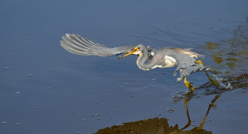 Tricolored-Heron-dip-feeding-and-catching-_A928671-Merritt-Island-NWR-FL