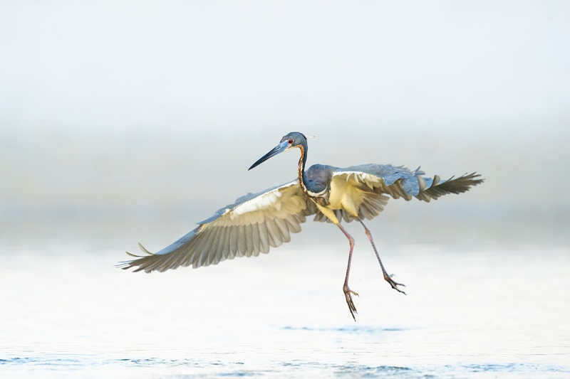 Tricolored-Heron-fishing-in-flight-_A1A0195-Indian-Lake-Estates-FL-
