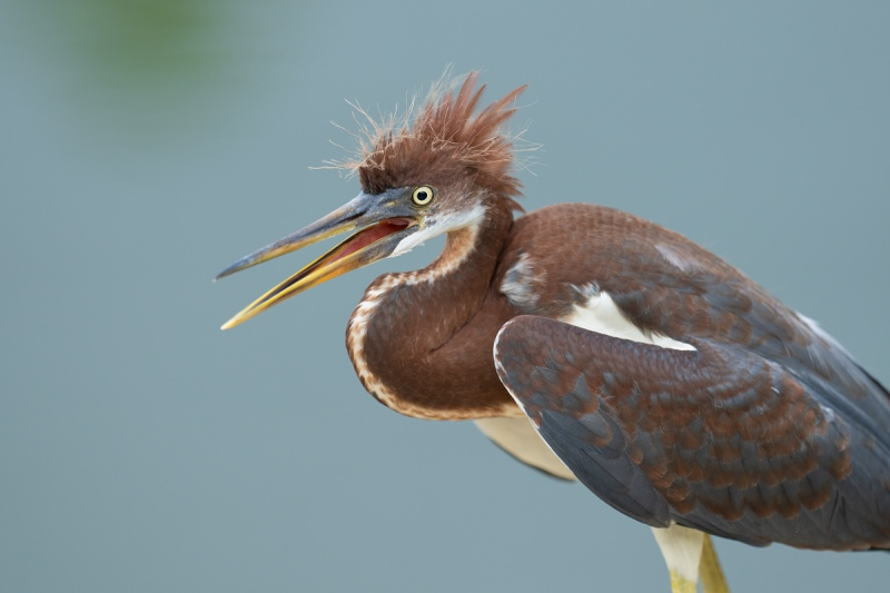 Tricolored-Heron-right-out-of-the-nest-begging-_A1A9723-North-Tampa-FL-