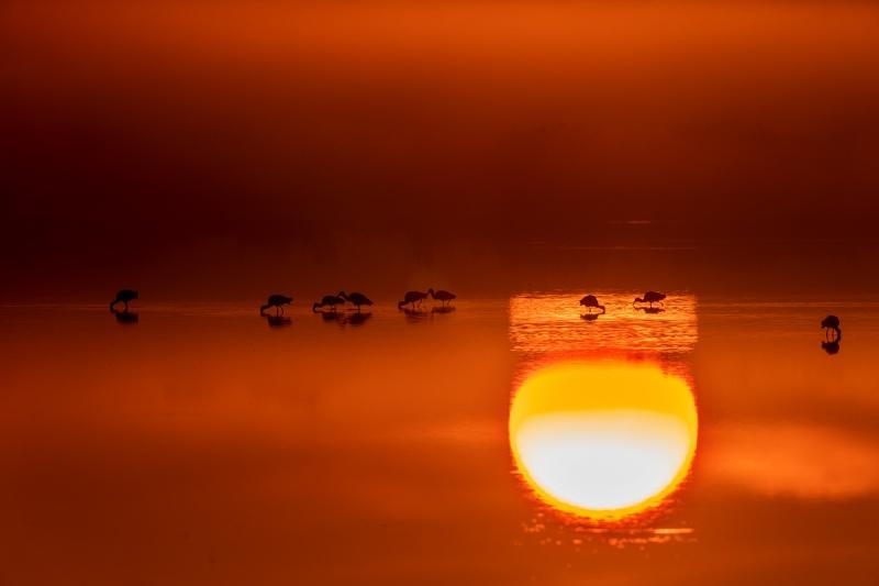 White-Ibis-small-flock-at-sunrise-_DSC6267-Merritt-Island-NWR-FL