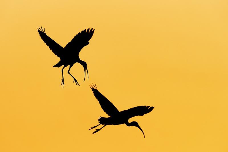 White-Ibis-sunset-battle-_A925077-Indian-Lake-Estates-FL