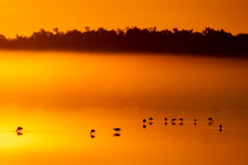 White-Ibises-at-foggy-sunrise-A-_DSC6307-Merritt-Island-NWR-FL