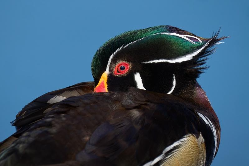 Wod-Duck-head-tucked-resting-_DSC2721-Lakeland-FL