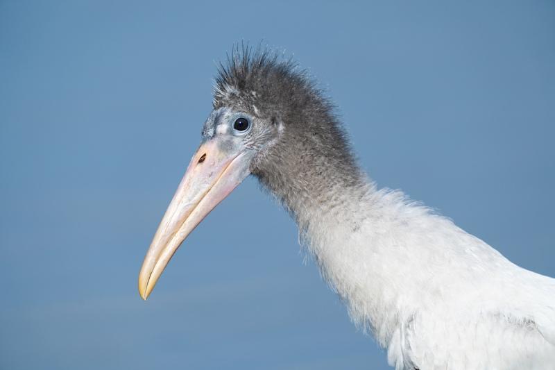 Wood-Stork-fledgling-_A1A5119-North-Tampa-Rookery-FL-