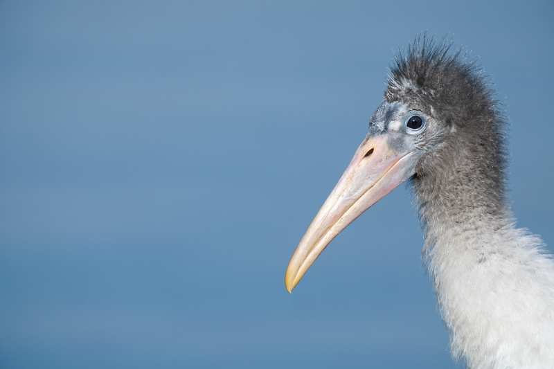 Wood-Stork-fledgling-_A1A5129-North-Tampa-Rookery-FL-