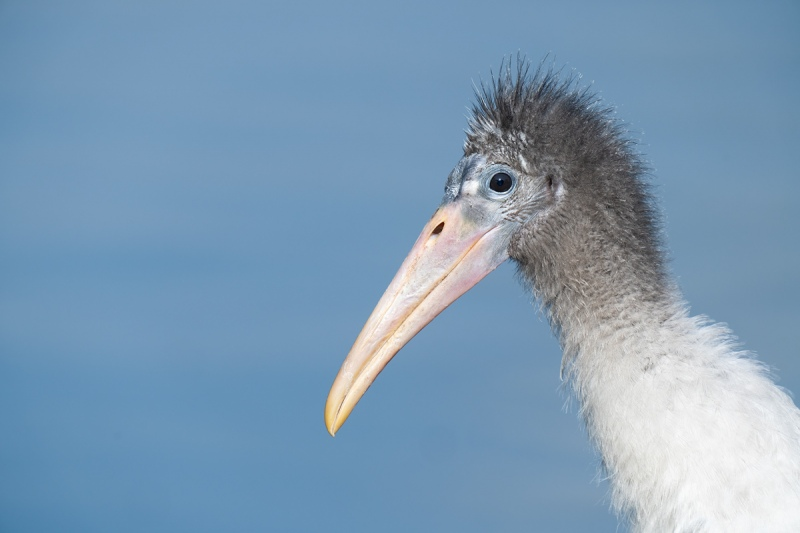 Wood-Stork-fledgling-head-portrait-_A1A5175-North-Tampa-Rookery-FL-