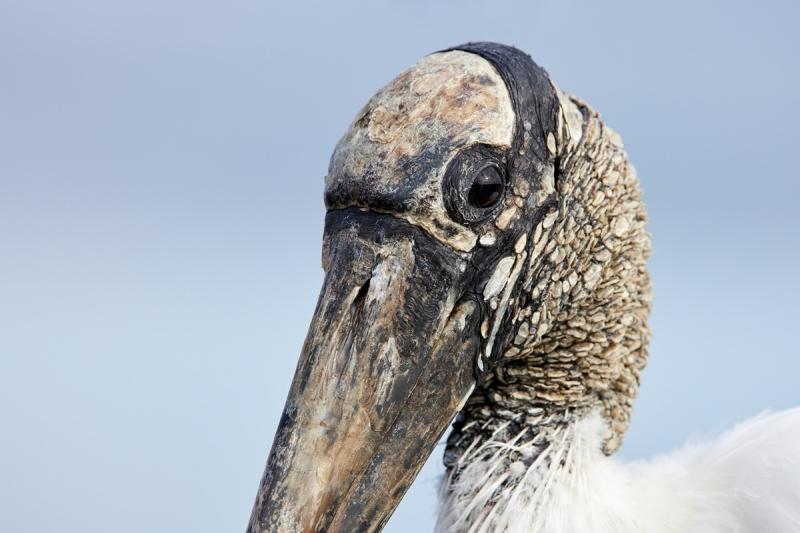 Wood-Stork-head-portrait-_91A0093-Merritt-Island-NWR-FL