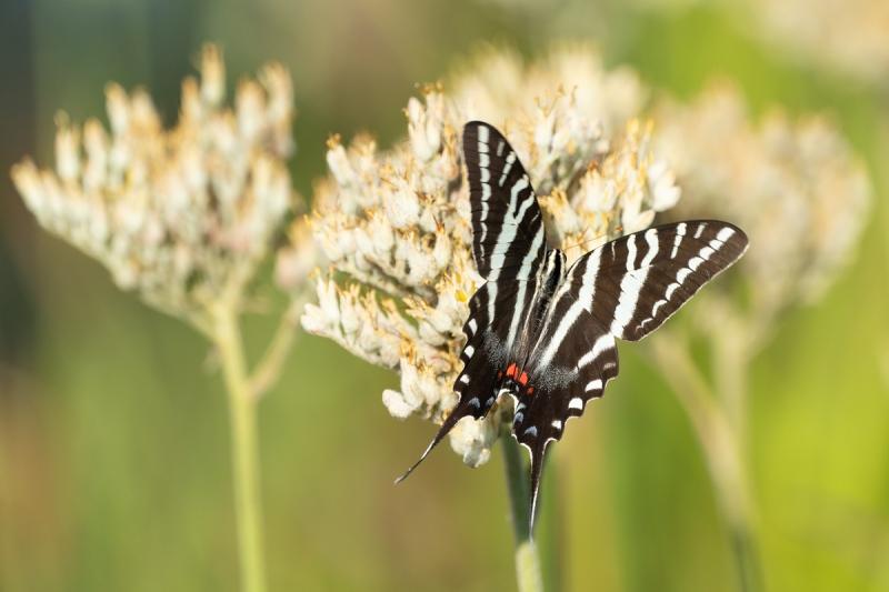 Zebra-Swallowtail-on-Carolina-Red-Root-_7R49617-Indian-Lake-Estates-FL