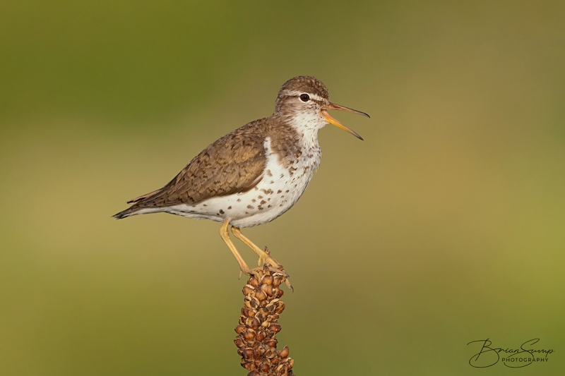 blog-sump-spotty-20210703-Spotted-Sandpiper-Mullein-Calling-Brian-Sump-BSR55788-6837px-D32-L75-brushwhite-brush-t