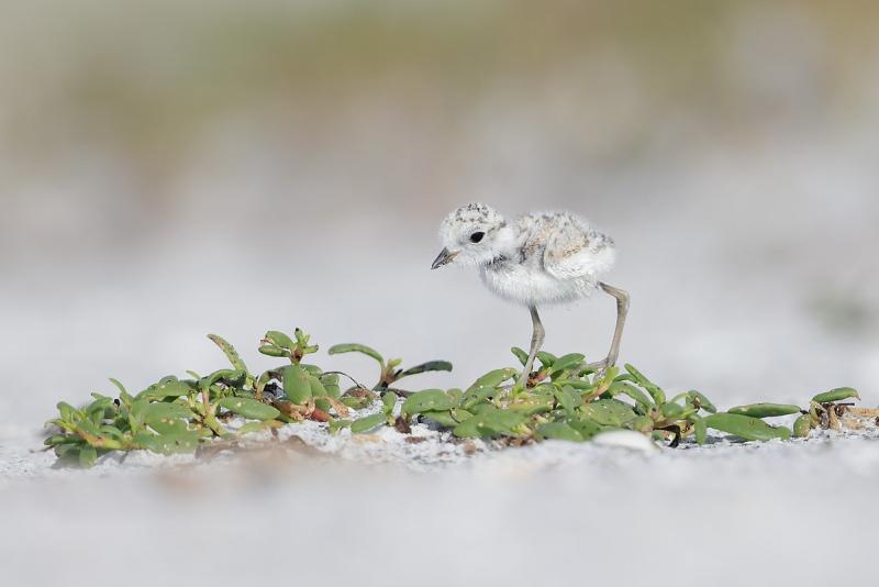 clemens-Snowy-Plover-chick-on-beach-vegetation_F0A2018-Fort-DeSoto-Park-Tierra-Verde-Florida-USA