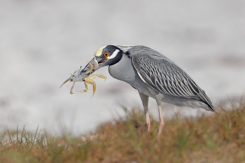 clemens-Yellow-Crowned-Night-Heron-with-Ghost-Crab_F0A0835-Fort-de-Soto-Tierra-Verde-Florida-USA