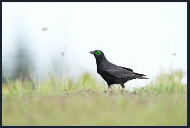 fish-crow-AF-point-1