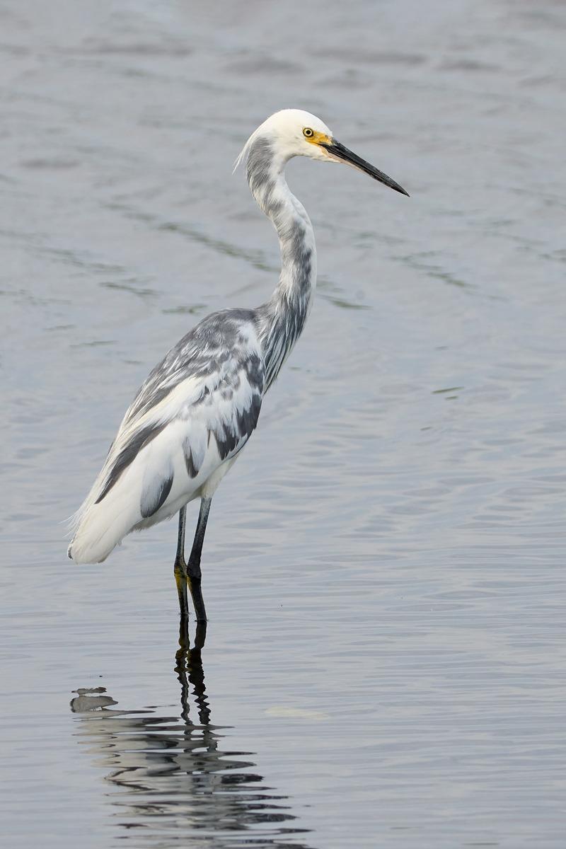 hybrid-heron-egret-Bill-Schneider-_DSC0161-Merritt-Island-NWR-FL-1
