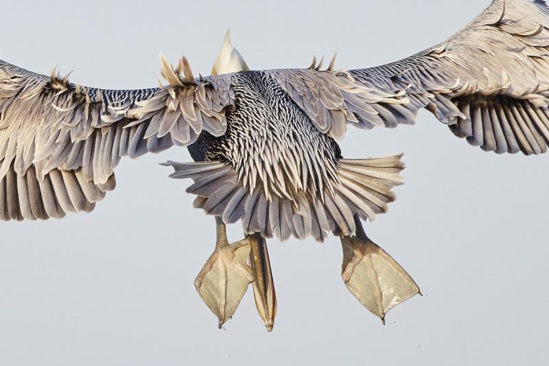 pelican-bill-foot-merge-_91A0638-Merritt-Island-NWR-FL-1