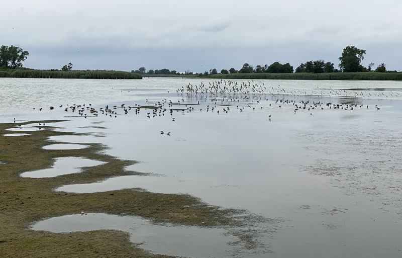 shorbirds-at-East-Pond-JBWR-Q-NYIMG_1047