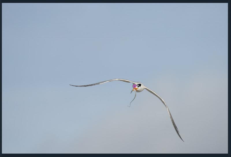 tern-cutlassfish-AF-point