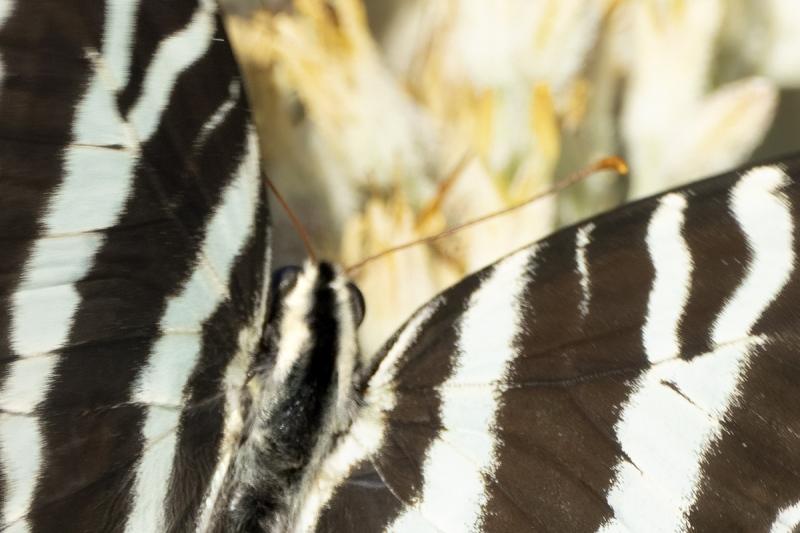 unsharp-heqd-Zebra-Swallowtail-on-Carolina-Red-Root-_7R49617-Indian-Lake-Estates-FL