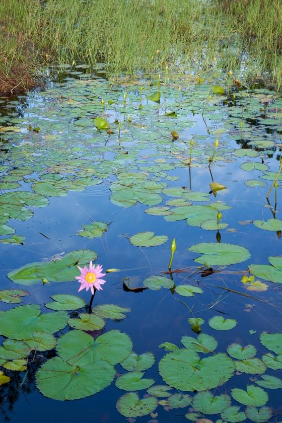 water-lily-_7R45605-Indian-Lake-Estates-FL-1