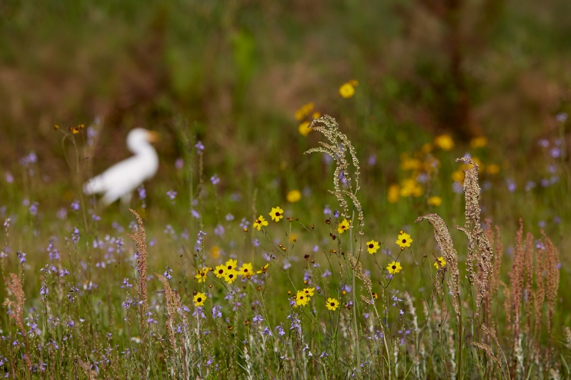 wildflowers-and-o-o-f-Cattle-Egret-_91A6645-Indian-Lake-Estates-FL