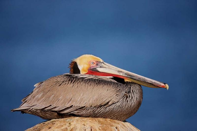 brown-pelican-robt_i7j3538la-jolla-ca_0