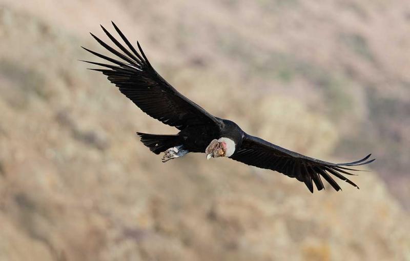 condor-looking-down-_a1c8868-farellones-los-andes-chile