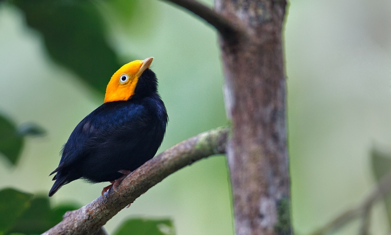 golden-headed-manakin-_w3c3662-asa-wright-nature-center-trinidad