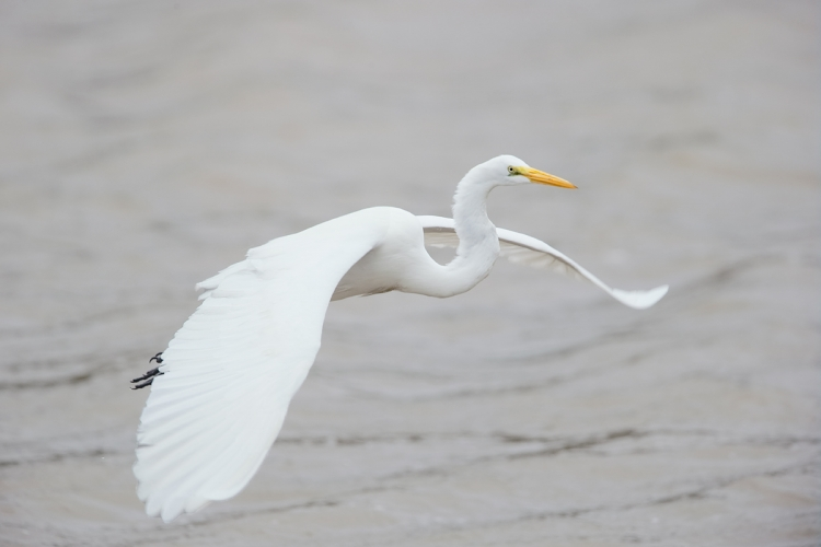 great-egret-in-flight-_y7o2422-huntington-beach-state-park-sc