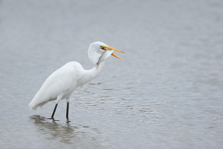 great-egret-with-mullet-_y7o2169-huntington-beach-state-park-sc
