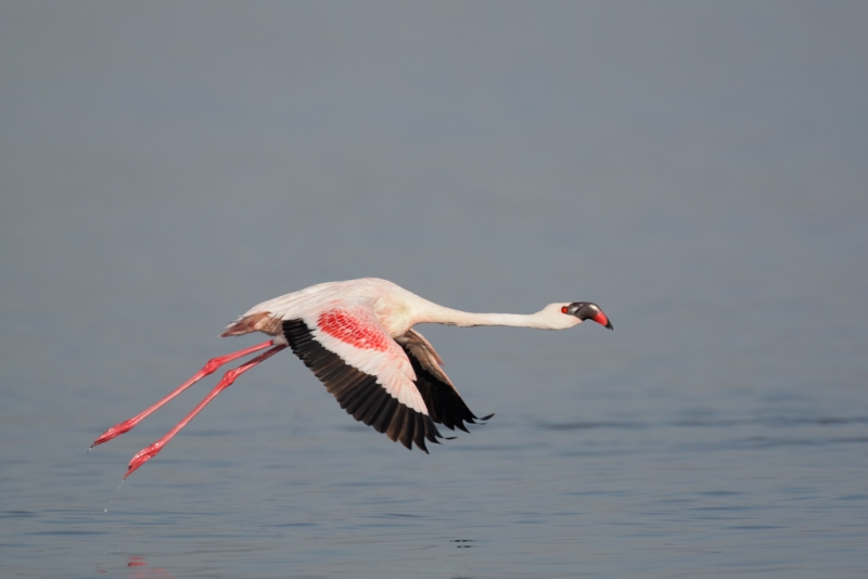lesser-flamingo-wings-down-adult-robt_v5w0541-nakuru-national-park-kenya