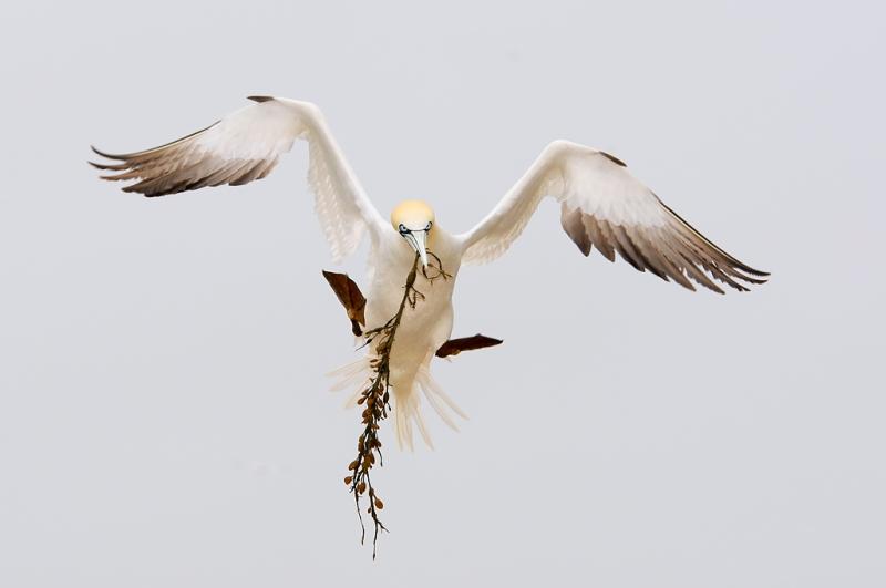 northern-gannet-awkward-landing-w-nesting-matl-_o0w7788-bonaventure-island-quebec-canada-copy