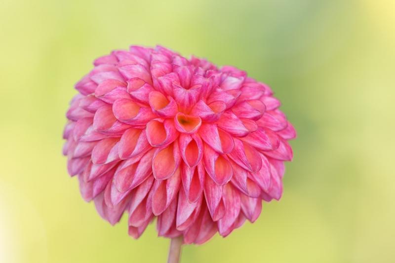 pink-dahlia-_a1c7699-swan-island-dahlia-farm-canby-or