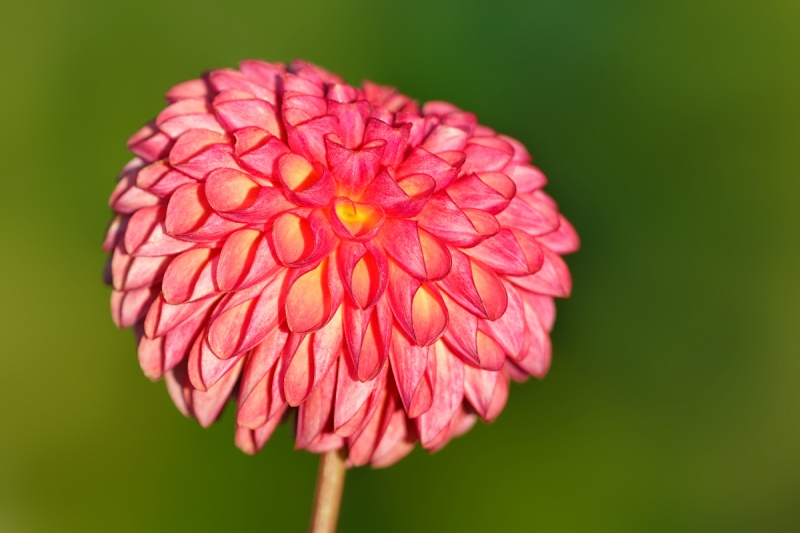 pink-dahlia-in-sun-_a1c7700-swan-island-dahlia-farm-canby-or
