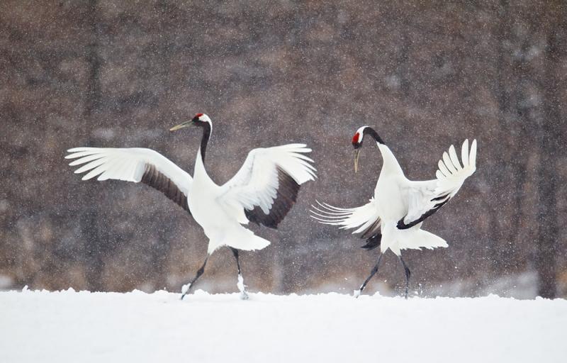 red-crowned-crane-courtship-dance-nb-_90z9944-tsurui-itoh-sanctuary-hokkaido-japan