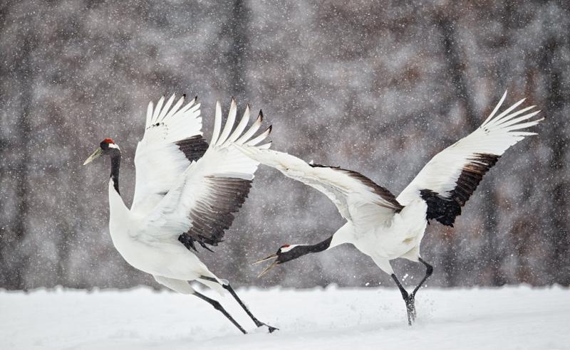 red-crowned-cranes-courtship-fighting-_90z9751-tsurui-itoh-sanctuary-hokkaido-japan