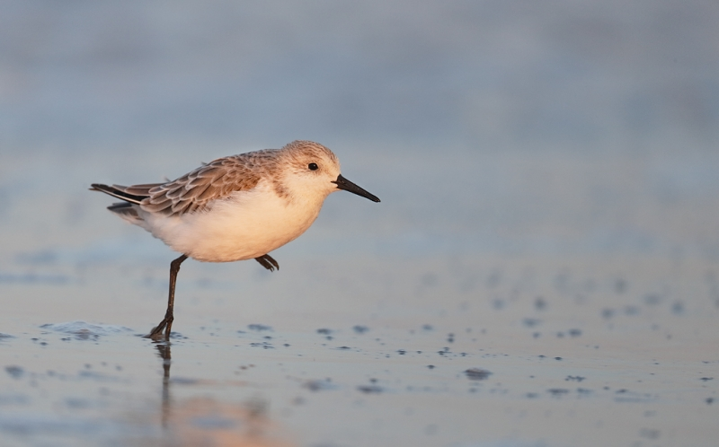 sanderling-winter-plumage-adult-running-_q8r5721-nickerson-beach-long-island-ny