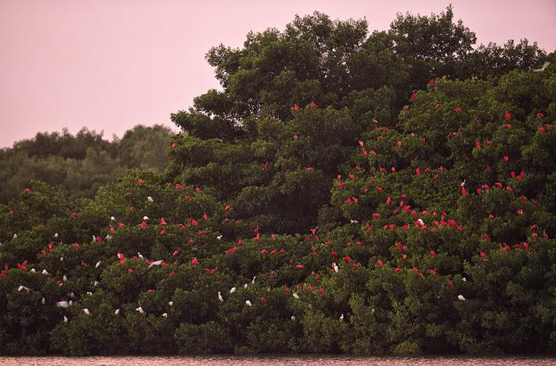 sscarlet-ibis-roost-_a1c7547-trinidad_0