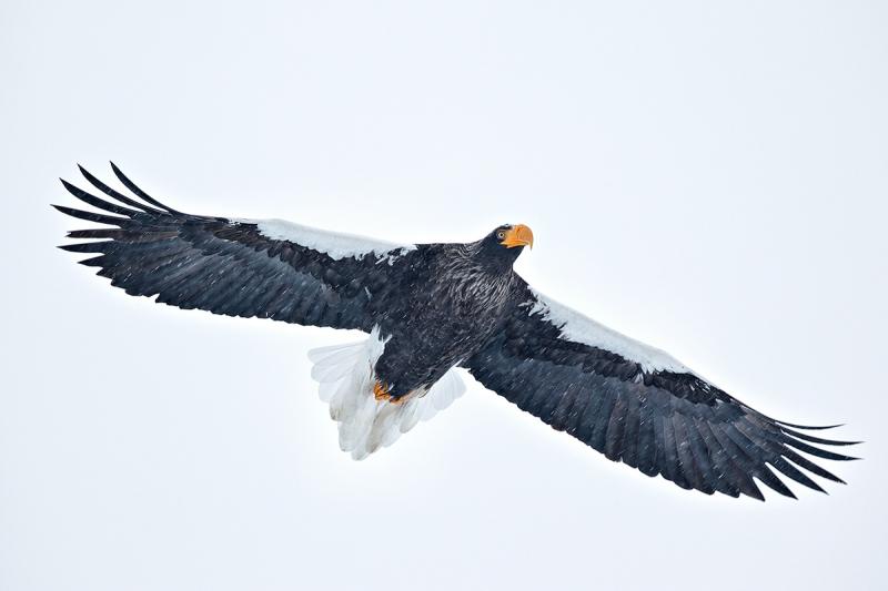 stellers-sea-eagle-in-flight-in-snow-_90z5286-rausu-hokkaido-japan