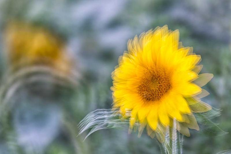 sunflower-multi-exposure-_a1c6783-newton-nj