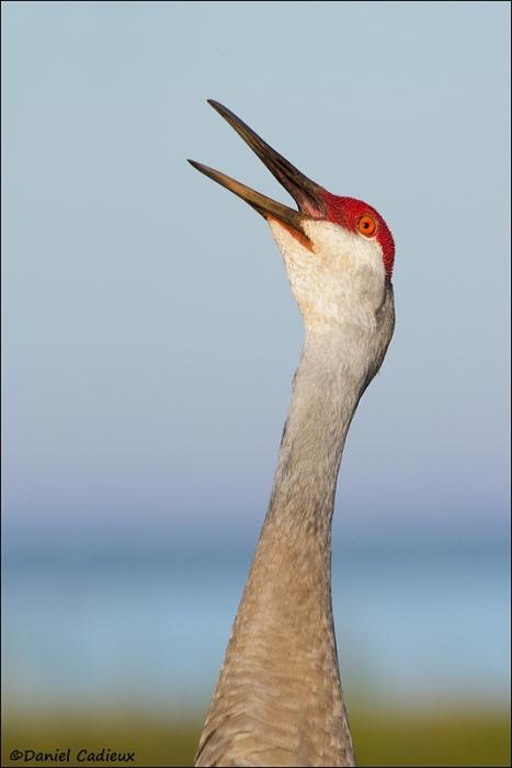 tn_sandhill-crane_5655-1