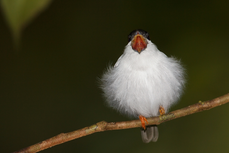 white-bearded-manakin-with-bill-open-_w3c3724-asa-wright-nature-center-trinidad