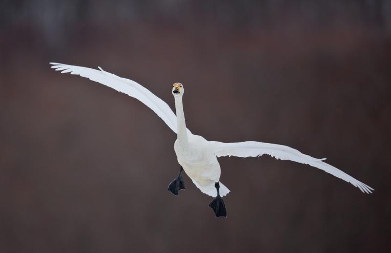 whooper-swan-landing-5d-_mg_3386-akan-crane-center-hokkaido-japan_0