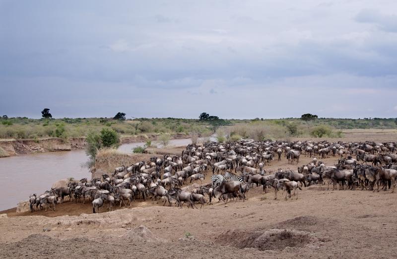 wildebeest-and-zebra-herd-at-the-river-bank-robt_e0w4854keekorok-lodge-maasai-mara-kenya