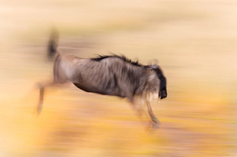 wildebeest-jumping-blur-yellow-_o7f9154-maasai-mara-kenya