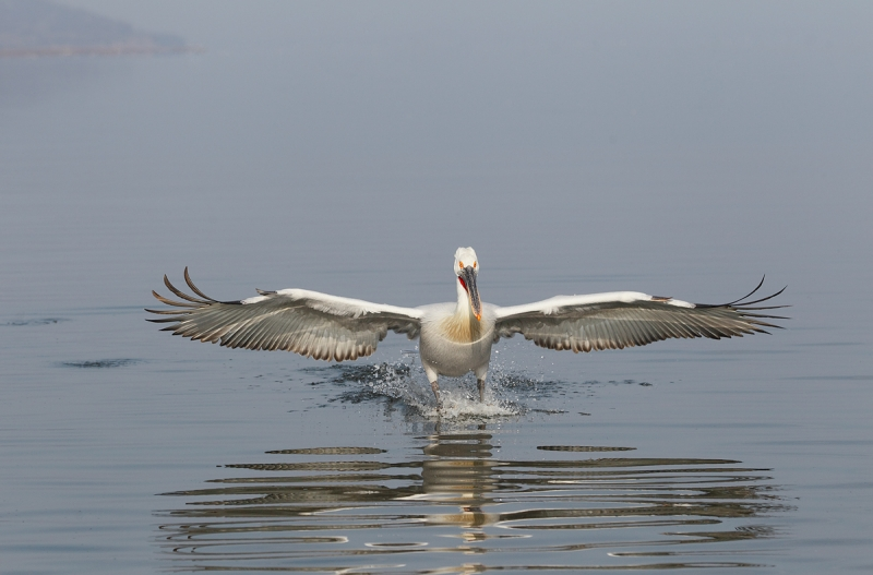 dalmatian-pelican-landing-_r1e9766-lake-kerkini-greece