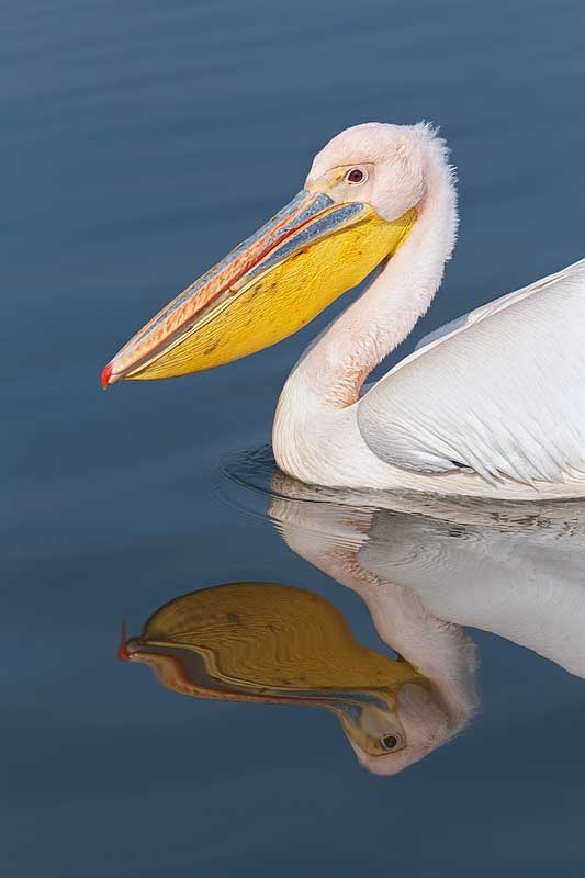 great-white-pelican-layers-_r1e0260-lake-kerkini-greece