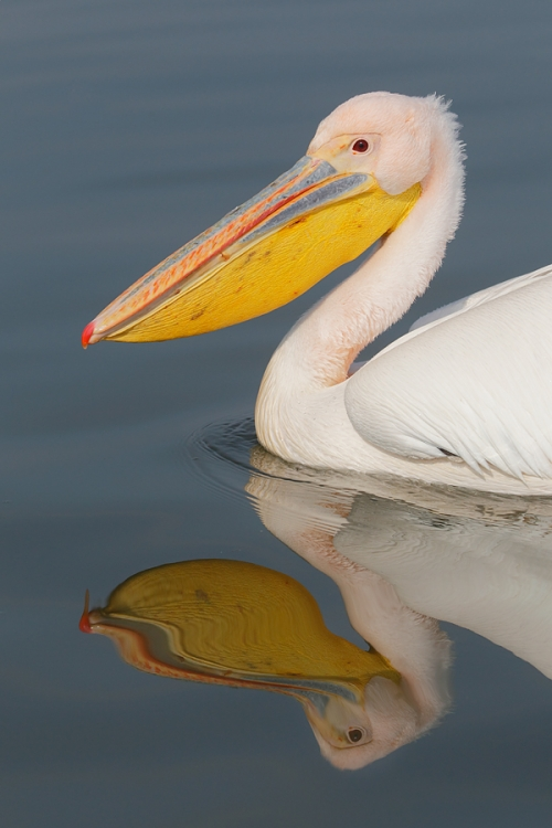 great-white-pelican-vertical-_r1e0260-lake-kerkini-greece