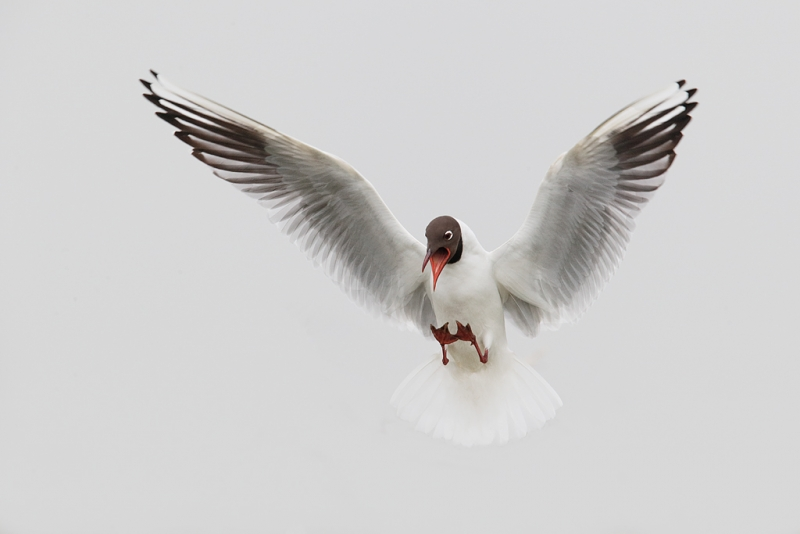 black-headed-gull-landing-beach-gull-head-removed-_09u0744-texel-holland